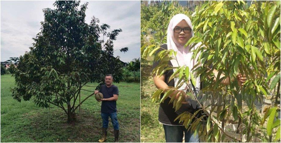 MD Mujahit memegang buah durian Musang King hasil tanamannya. (Gambar kanan) Siti Maisalmah bersama pokok durian Musang King ditanamnya. FOTO ihsan Md Mujahit dan Siti Maisalmah